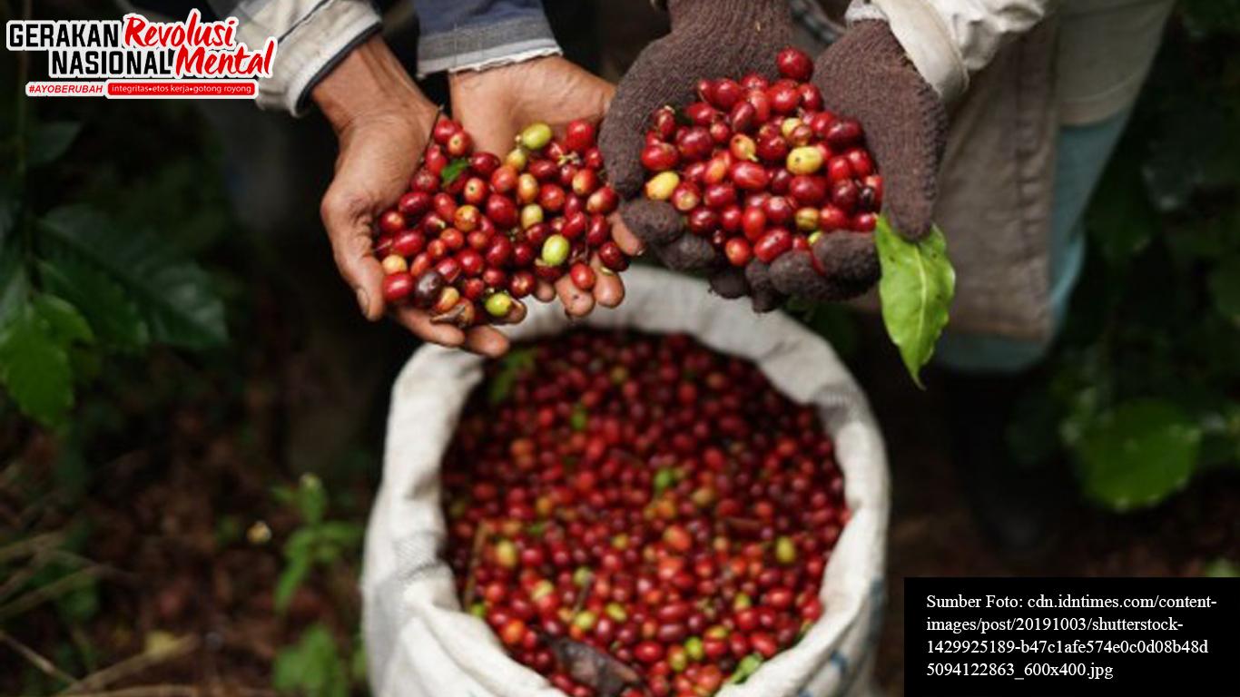 Petani sedang memanen kopi